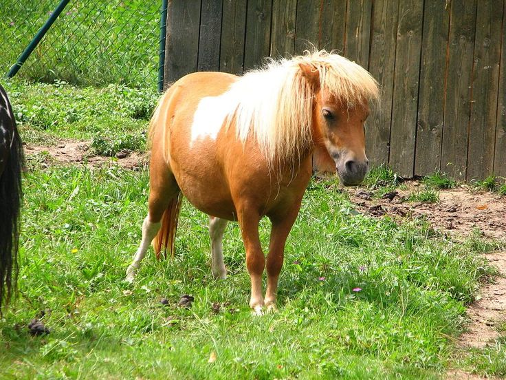 Interested in getting a Shetland Pony? See pictures and learn about its size, personality, health, and costs of ownership.