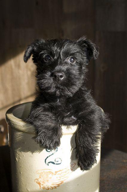 Looks like Hermann...: Mini Schnauzer, Miniature Schnauzer, Box Market, Pet, Schnauzers, Dog, Schnauzer Puppy, Scottish Terriers, Animal