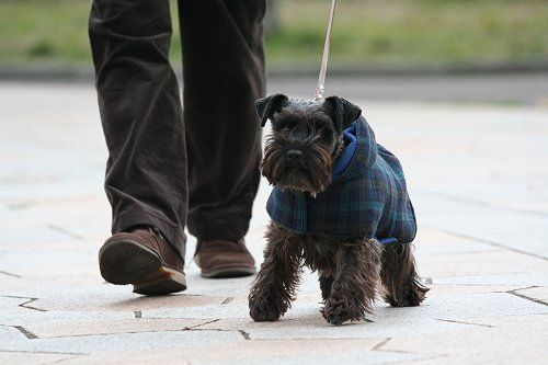Miniature Schnauzer Hair Styles: 66 Best Images About Schnoodle Haircut Ideas On Pinterest