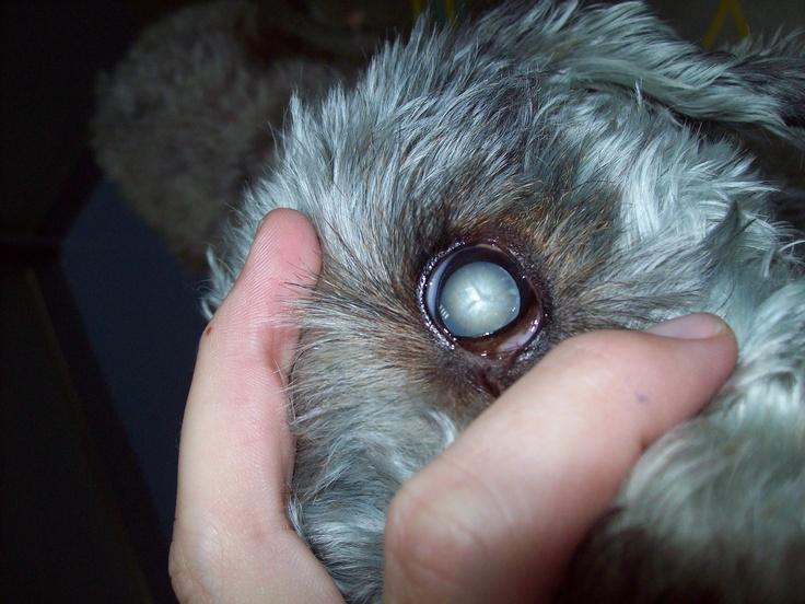 Las cataratas es una patología ocular frecuente en mayor o menor grado, sobre todo en perritos de edad avanzada, cataratas seniles, aunque también podrían estar relacionadas con otras patologías.