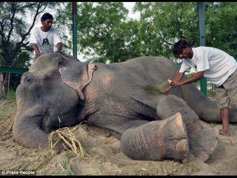 Raju The Elephant Cries While Being Rescued After 50 Years Of Abuse In I...