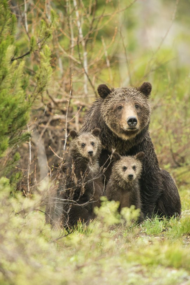 Despite being an iconic part of the wilderness landscape, the future of grizzlies is still an uncertain one.