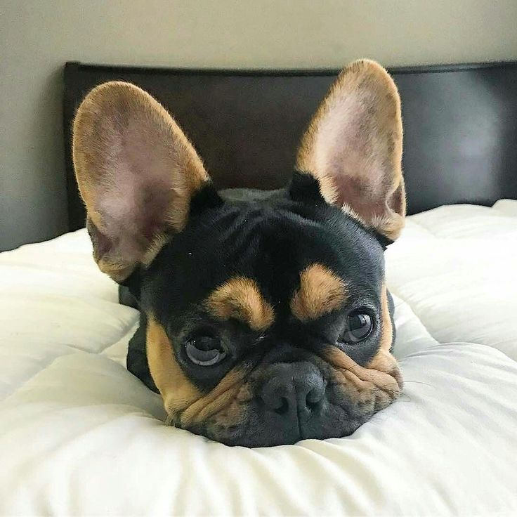 best 25 french bulldogs ideas on pinterest french bulldog puppies french. Black Bedroom Furniture Sets. Home Design Ideas