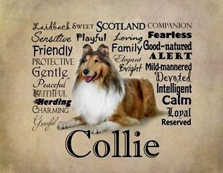 COLLIE ROUGH SABLE DOG with Characteristics on ONE 16 inch fabric square panel.