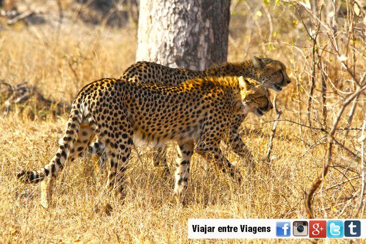 O Parque Nacional de Kruger é a Jóia da Coroa da África do Sul no que toca à preservação e observação de vida animal selvagem. Ocupa uma zona no norte do país, fazendo fronteira com Moçambique ao longo de 352 km, e também um pouco com o Zimbábue, com uma área total de cerca de …