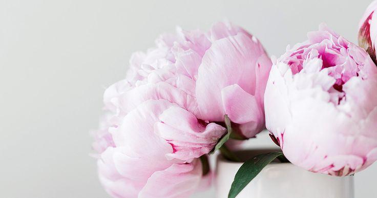Pionen är en uppskattad blomma i våra trädgårdar och som snittblomma. Med sina fylliga blommor och sin ljuvliga doft är det inte konstigt att den är en av årets trendigastedekorations- och snittblommor. Det vara svårt att få pioner att slå ut och sedan att få dem att stå sig länge. Här är de allra smartaste …