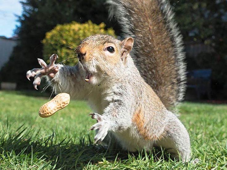 Une cacahuète comme ça, pas question de la laisser échapper ! / Ecureuil. / Squirrel.