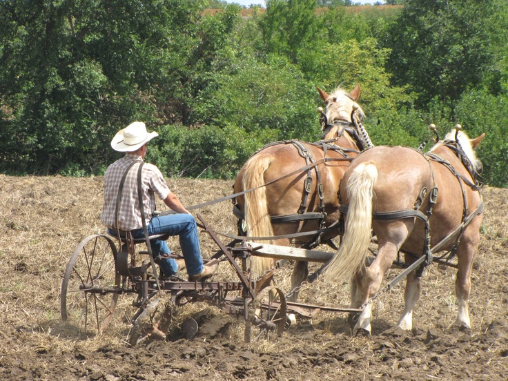 Plowing with Belgian Draft Horses