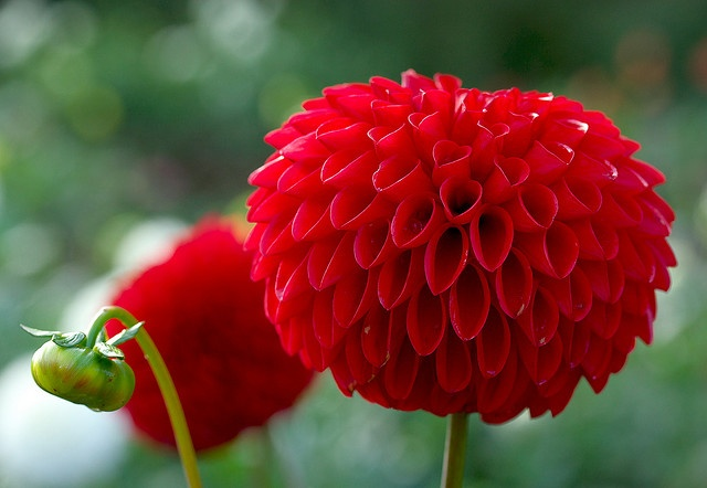 red dahlia....surely I could make something to look like this.