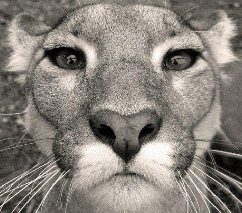Nose ♥: Big Cats, Animals, Bigcats, Beautiful, Mountain Lion, Wild Cats, Close Up