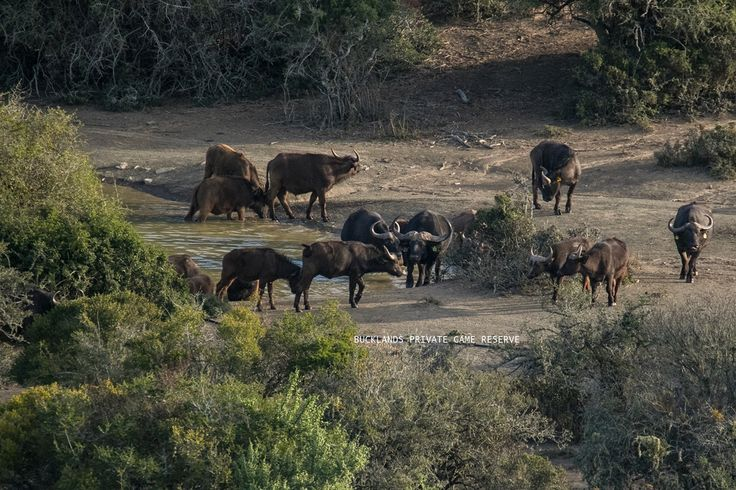 Buffalo breeding herd playing at a pan before coming in to feed #photography #capebuffalo #bucklandsprivategamereserve  #bucklandswildlife #africa #southafrica