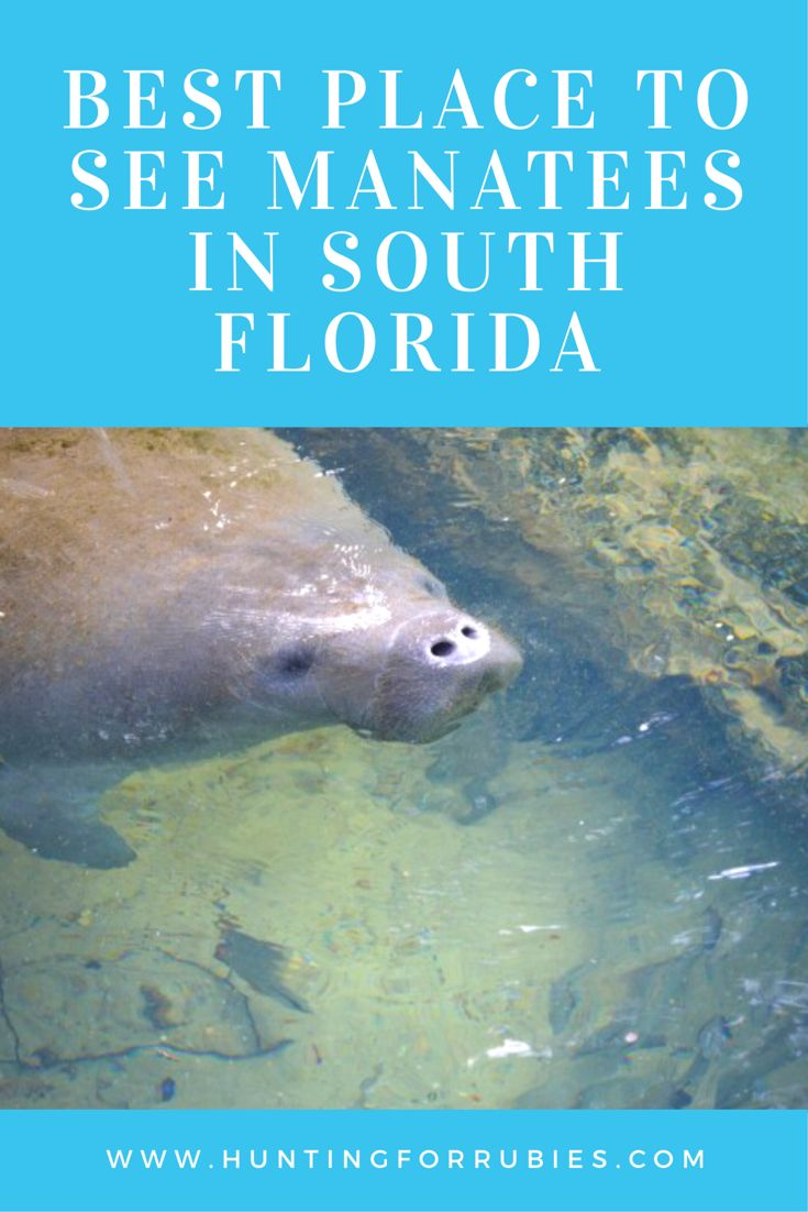 Best Place to See Manatees in South Florida and Other Things to Do in West Palm Beach, Florida