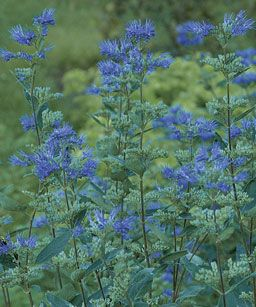 Pruning Subshrubs: Don't cut plants like lavender to the ground, and don't touch them in fall or winter