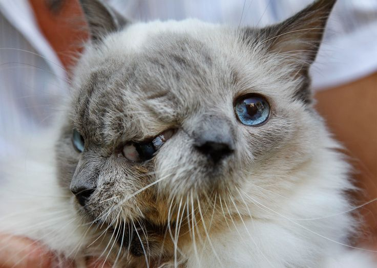 The famous two-faced cat, Frank and Louie (sometimes called Frankenlouie), passed away this week at the ripe old age of 15. The Massachusetts feline held the Guinness Book of World Records title for the longest lived Janus cat.  Named for the Roman god Janus, who was usually portrayed as having two faces, domestic cats with two faces are extremely rare.