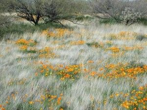 Pavot de Californie / Eschscholzia californica sur fond de Graminées