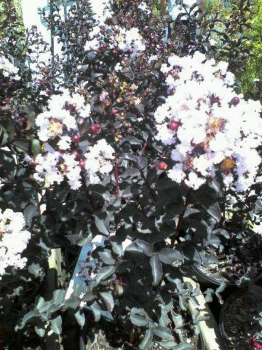 Black Diamond Crepe Myrtle Blush