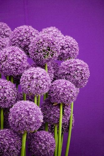 #purple alliums flowers color photography