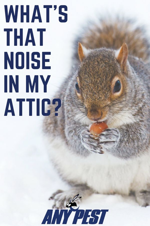 What S That Noise In My Attic Squirrels Squirrel Control Cute Squirrel Animals All Animals Pictures