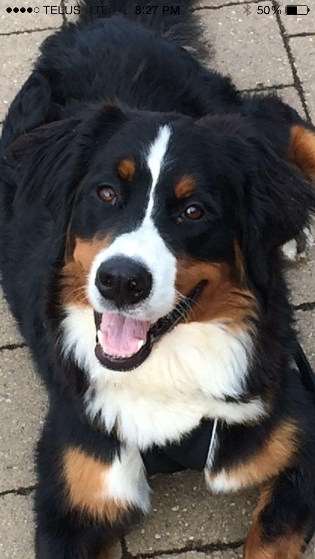 Bernese Mountain Dog - Madi