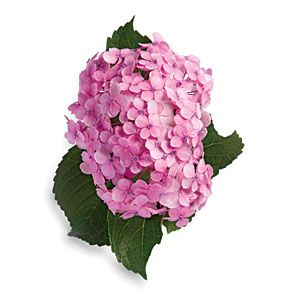 Want to make your hydrangeas really last? Dry your blooms and they'll keep for several years.