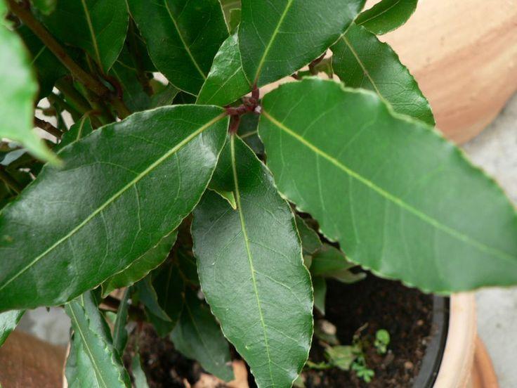 Vavřín | Bobkový list | Laurus nobilis : návod k pěstování, požadavky na světlo, hnojení, vlhkost, množení a zalévání