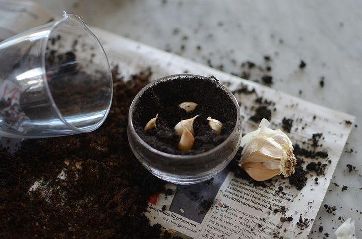 Att odla vitlök är ett enkelt och gott odlingstips. Snabbt får man en god färsk krydda. Odla vitlök i kruka inomhus Sätt ner några vitlöksklyftor i jord. Välj en kruka, låda eller vad som helst...