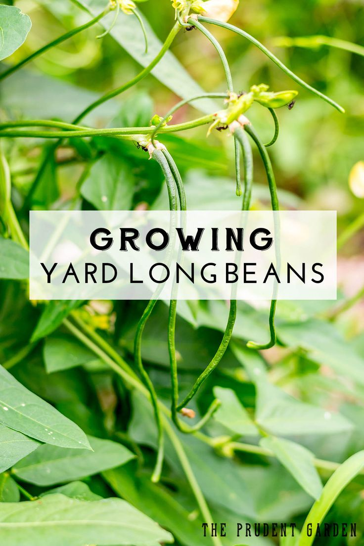Yard long beans are easy to grow, heat loving legumes. Good for your garden and for your appetite, you'll find more reasons to grow yard long beans here.