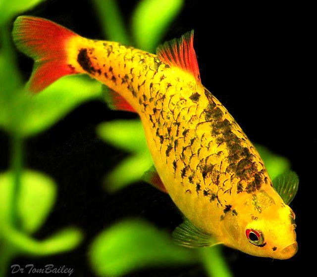 ... http://www.AquariumFish.net/catalog_pages/cyprinids/barbs.htm#4544