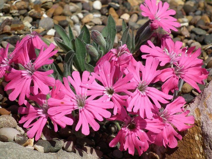 276 besten alpinum Bilder auf Pinterest Alpine pflanzen, Nizza - gartenpflanzen winterhart immergrun