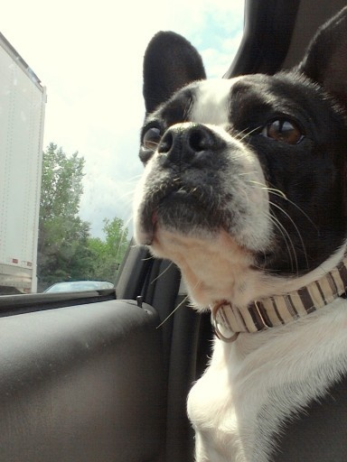 208/365:  Too much traffic!: Cars Riding, Boston Terriers, Projects 365, 208 365, Pet Projects