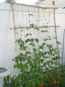 String bean trellis. -- along back of garden
