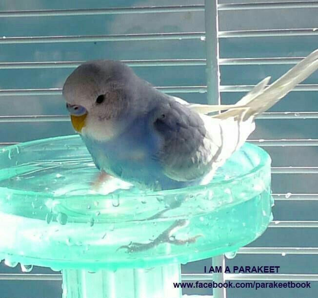 Parakeet taking a splash
