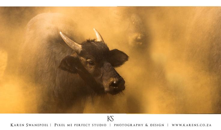 Buffalo in the dust