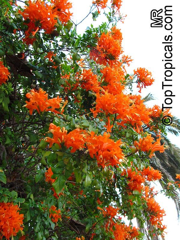Cape Honeysuckle (Tecomaria capensis) Fast growing sprawling vining shrub with long tubular flowers at ends of stems, hummingbird attractor, blooms all year (red, yellow, apricot, or orange) in warm areas, needs well-drained soil, full or filtered sun. Zones 9-11. (origin Africa)
