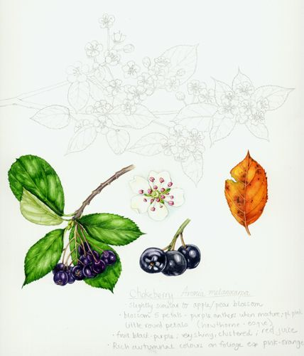 Chokeberry.  I loved doing the autmn leaf of this, and thik the line drawing of the blossoming twig has worked well too.  The anthers were perplexing; some were pale pink whilst others a righ magenta purple.  No idea which is more common (oh for a live specimen!) so I went for something in-betweeny.
