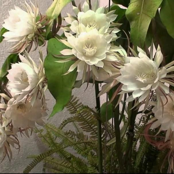 Queen of the Night | Night Blooming Cereus | Fragrant Orchid Cactus The extraordinary Epiphyllum Oxypetalum is an orchid cactus that goes by many names such as