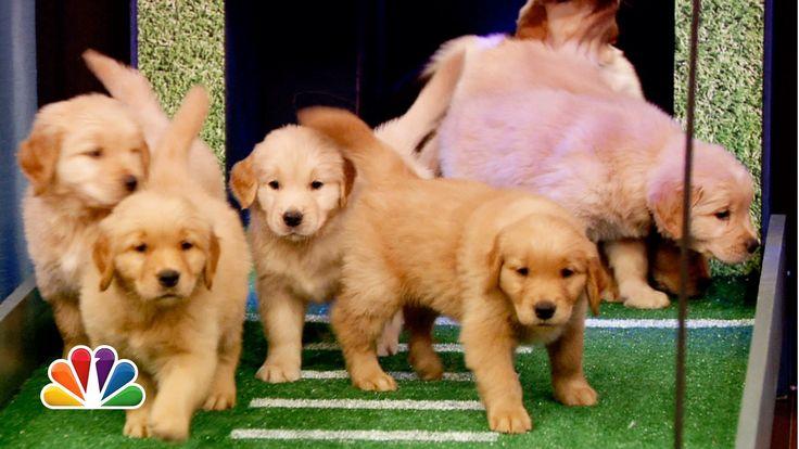 Puppies predict the 2013 NFL season opener.