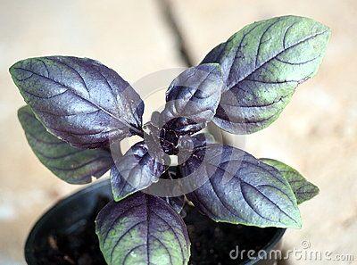 Purple Basil (Ocimum basiicum) growing in plant nursery
