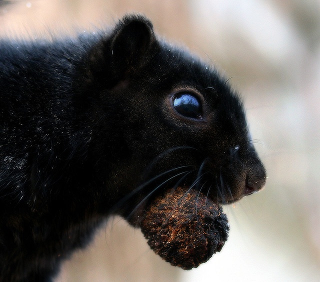 blk squirrel and his nut by Wes Honeycutt 2007