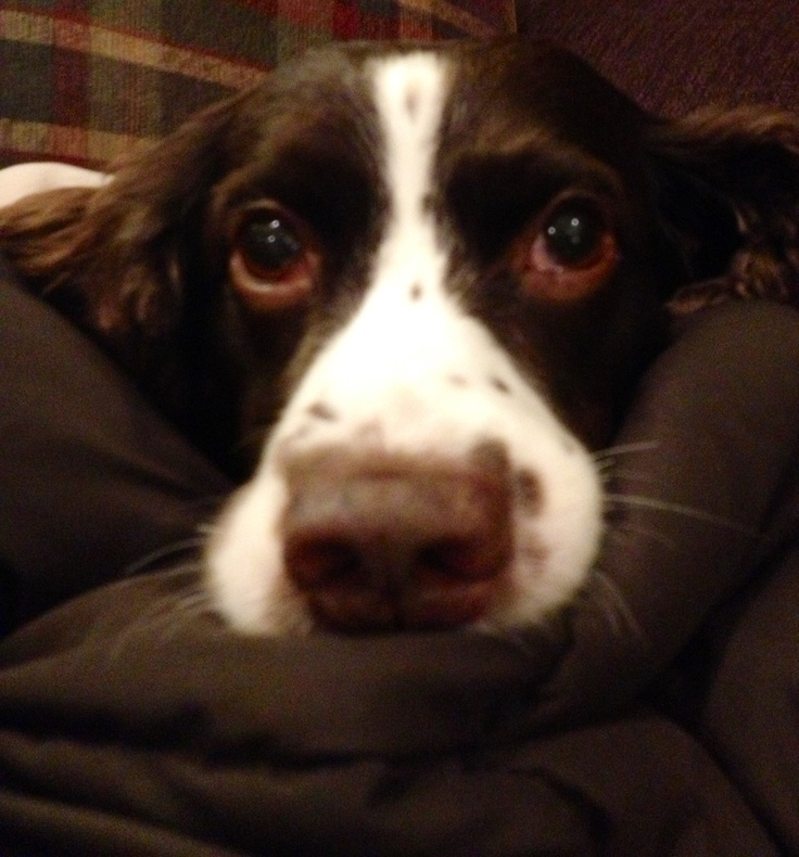 English Springer Spaniel - bailey gives me this look