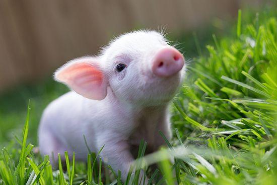cute little piggy sue the runt of the litter rescued