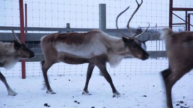 Are Reindeer Real? We Found Some!