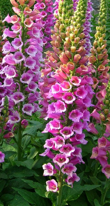 Foxglove | Digitalis purpurea 'Candy Mountain.' Large, rose pink flowers with speckled throats. Grows 3-4 feet tall | Log House Plants  ...♥