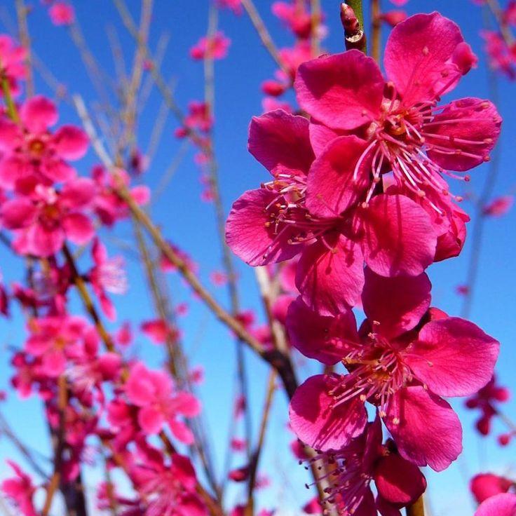 Prunus Mume Beni-Chidori Tree
