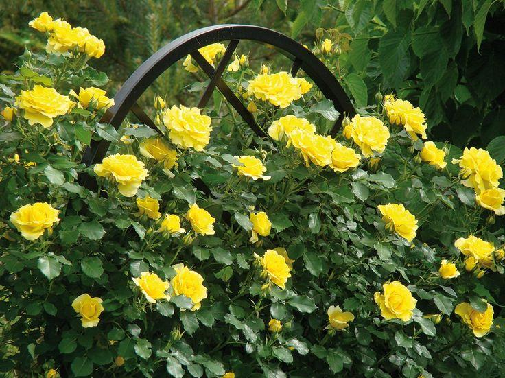 9050b21b6d3bbcb1628fab4f035410d4  iron trellis bright yellow
