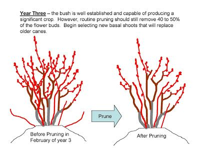 The NC Blueberry Journal: Pruning Young Blueberry Plants