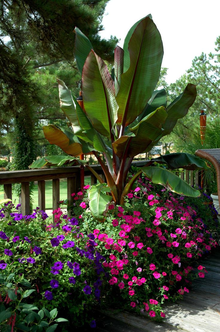 Providing Tree And Plant Care: Red Ethiopian Banana--good Container Plant. The Abyssinian