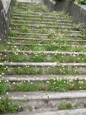 erigeron growing up the original entry staircase into the house