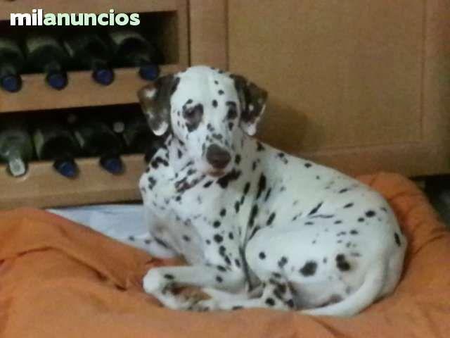 MIL ANUNCIOS.COM - Regalo perro. Compra-venta de dalmatas regalo perro. Anuncios con fotos de dalmatas regalo perro. Perros dalmata regalo perro