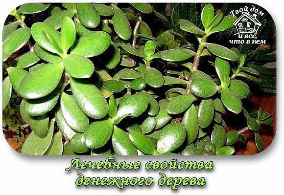 Денежное дерево польза лечение